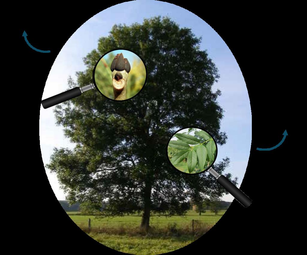Frêne commun, plantes-risque.info, Plantes risque, Centre de ressources sur les espèces à enjeux pour la santé humaine, Plantes à risque, Végétaux à risque pour la santé, Plante en vente présentant un risque fort pour la santé humaine, Plante en vente à risque, Plante risque ingestion, plante risque allergie respiratoires, Plante risque en cas de contact, Bienfaits des végétaux, Symptôme plante, Symptôme plante à risque, Réglementation plantes à risque, Fredon, Fredon France, Ministère des Solidarités et de la Santé, Ministère de l'Agriculture, Ministère de la Transition écologique, Ministère de l'Intérieure, Santé du végétal, Santé de l'environnement, Santé des Hommes